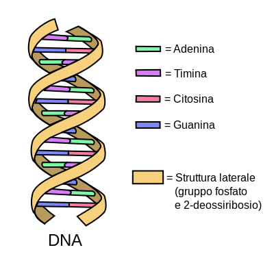 DNA_simple2_(it).svg